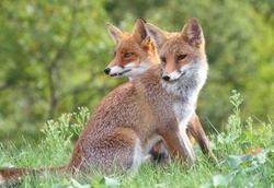 Pohlednice 3D 16cm - lišky(25)