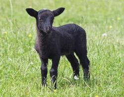 Magnet 3D 7x9cm - černá suffolkská ovce (25)