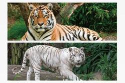 Záložka 3D s pravítkem 15,5 x 5,4cm - tygři(25)