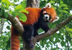 Pohlednice 3D 16cm - panda červená(25)