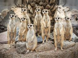 Prostírání 3D 30x40cm - surikaty
