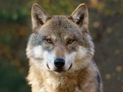 Prostírání 3D 30x40cm - vlk(10)