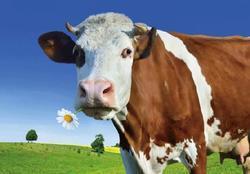 Pohlednice 3D 16cm - kráva(25)