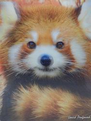 Pohlednice 3D 16cm - panda červená (25)