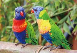 Pohlednice 3D 16cm - papoušci lori
